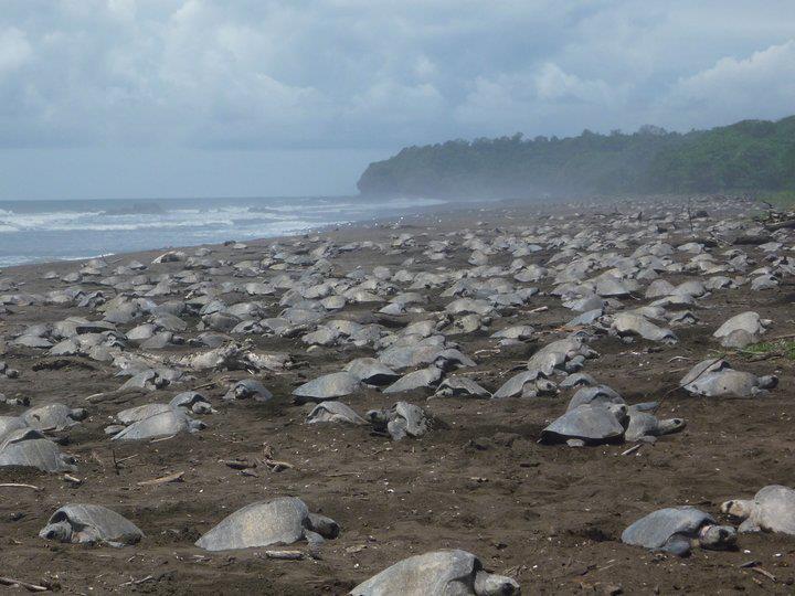 "Sea Turtle ""Arribada"" in Costa Rica (Photo Archive: sunandwaveshotel.com)"