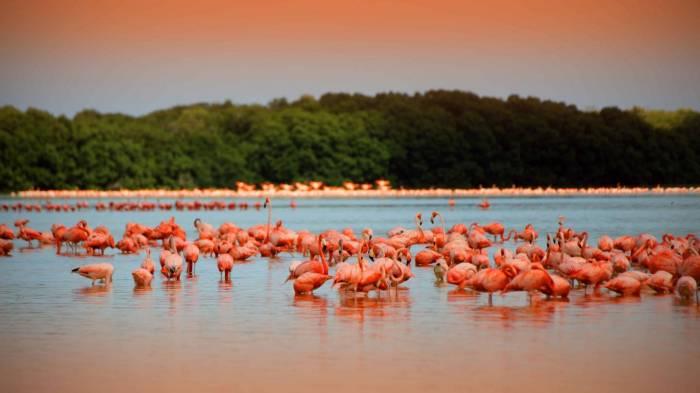 Flamingos in Celest{un, Yucat{an (Photo: SIPSE)