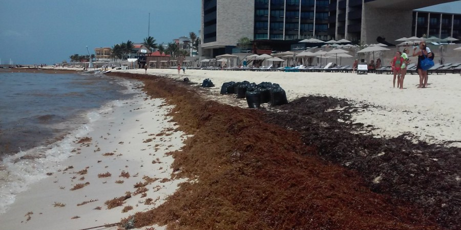 Algae can be collected from the beaches, composted and used as fertilizer (Photo: Riviera Maya News)