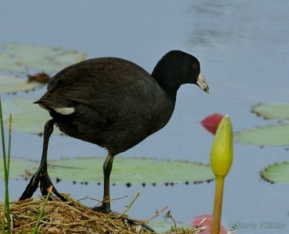 American Coot with lobed toes (C) CHERIE PITTILLO