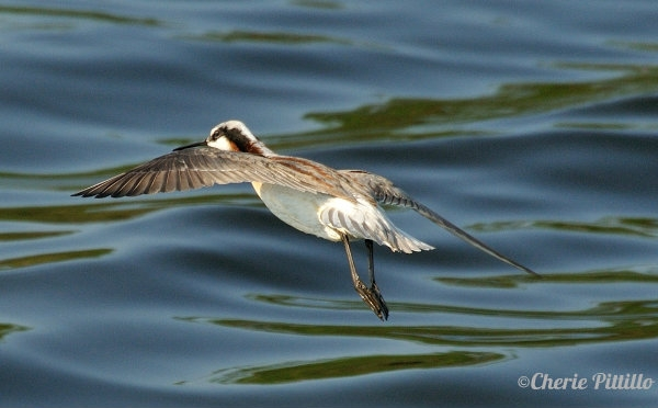Flight of adult Wilson's Phalarope
