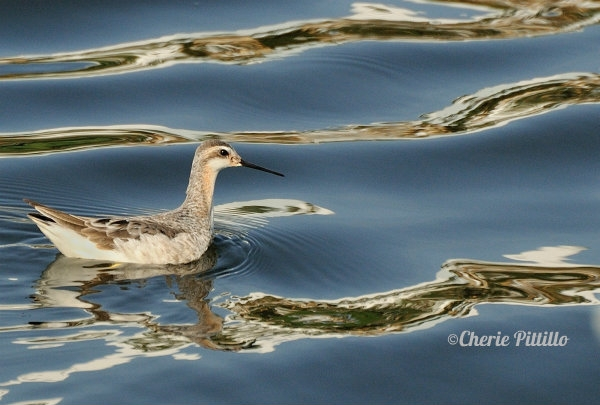 Wilson's Phalarope swims near shore