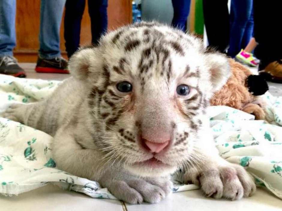 white_tiger_centenario_1