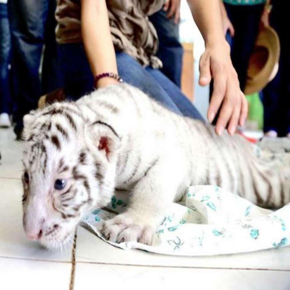 white_tiger_centenario_2