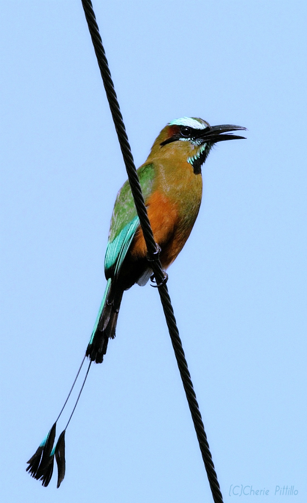 TOH, Turquoise-browed Motmot
