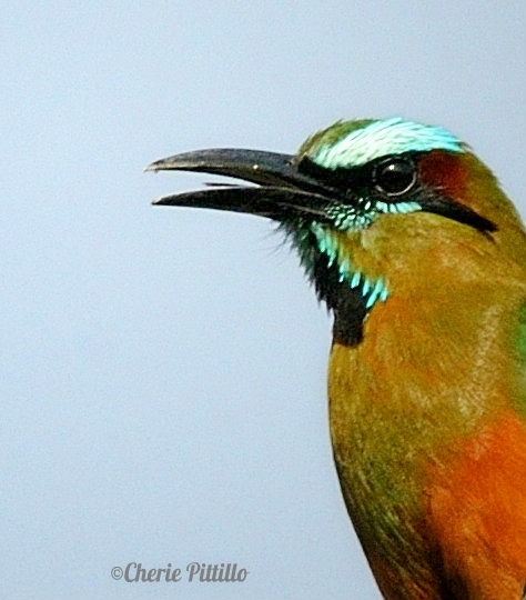 Turquoise-browed Motmot is an omnivore