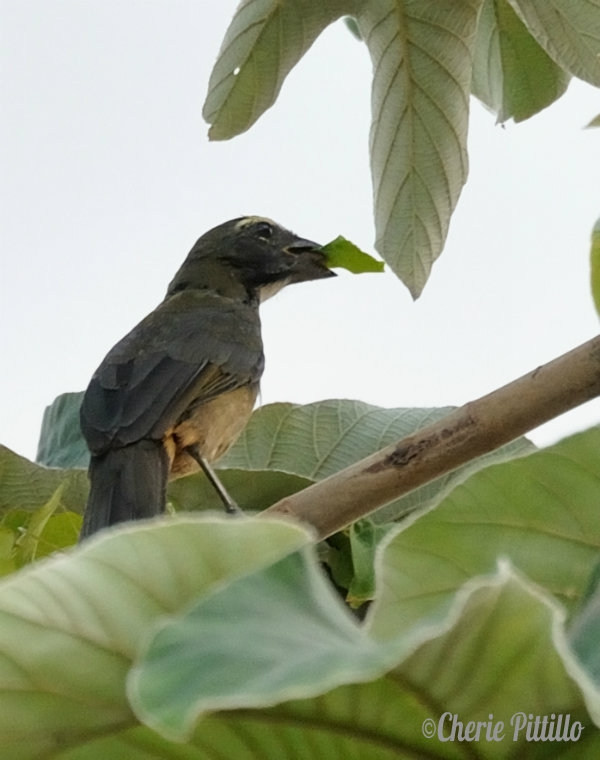 Adult Grayish Saltator feeds on vine leaf in Cecropia tree.