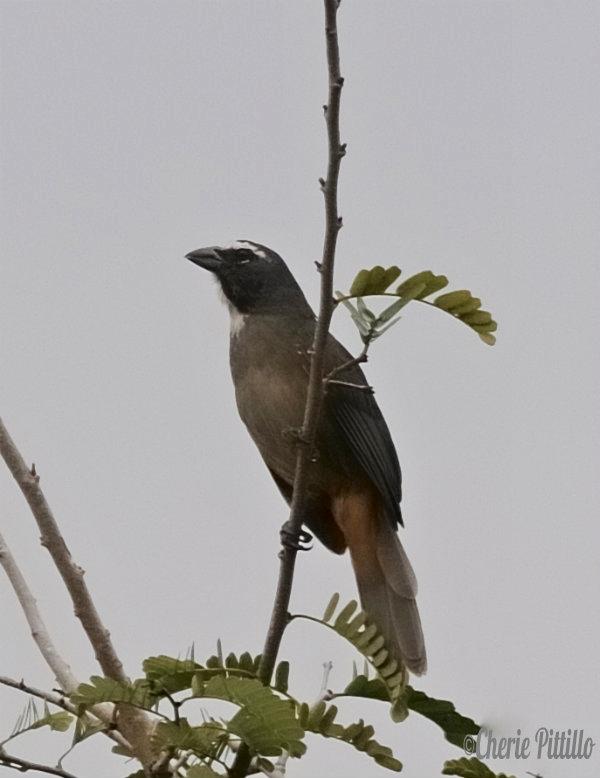 Grayish Saltator adult