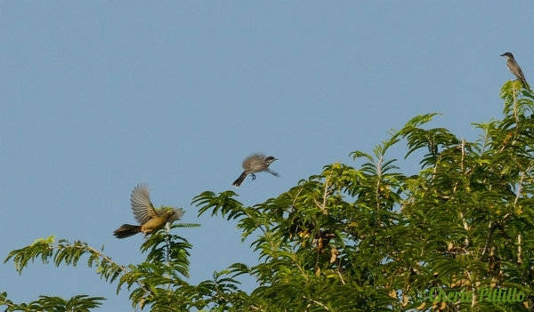 Grayish Saltator (left) chases Eastern Kingbird while another kingbird watches.