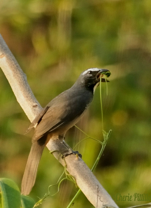 Tender is the tendril for the adult Grayish Saltator
