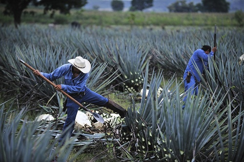 Jimadores in Tequila, Jalisco (Photo: tripatini.com)