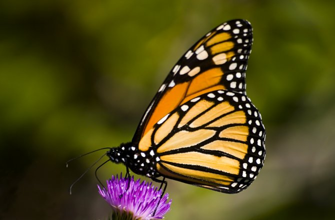A monarch touches down in the ecosystem of this purple thistle flower. (ISTOCKPHOTO/THINKSTOCK)