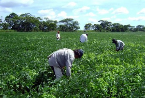 Photo: mexiconewsdaily.com Soybean farmers in the Yucatan Peninsula.