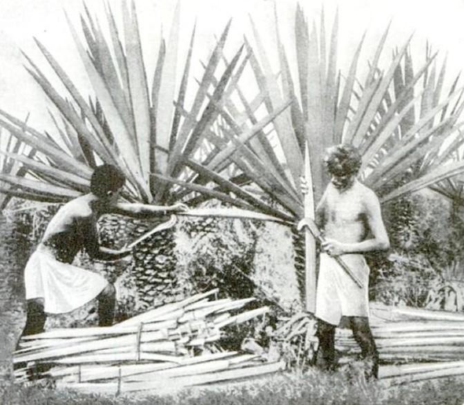 Harvesting henequen (Popular Science, 1922)