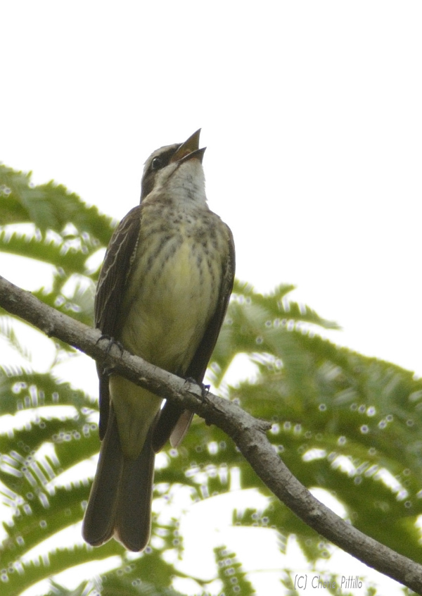 Piratic Flycatcher male  sings