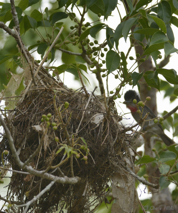 Rose-throated Becard __covered__nest