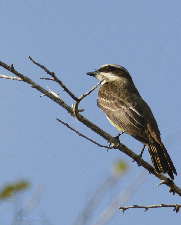 Side view of Piratic Flycatcher resembles cousin Social Flycatcher