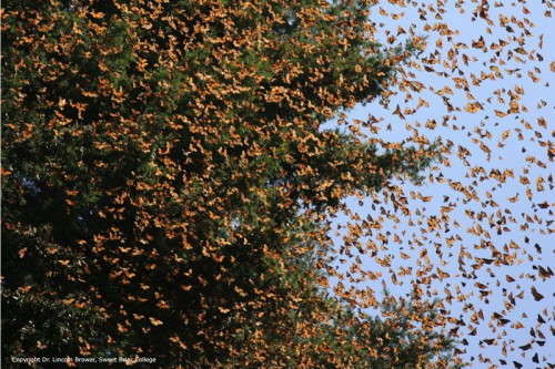 Photo: google.com A record estimated 160 million monarch butterflies have arrived in central Mexico.