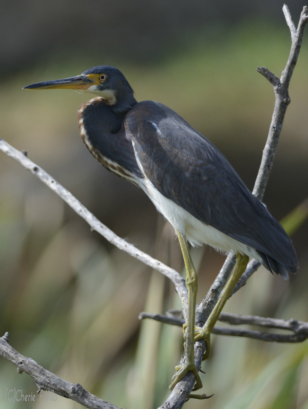 11 Tricolored Heron
