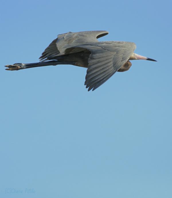12. Reddish Egret