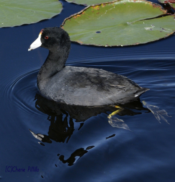 AMERICAN COOT, member of rail family