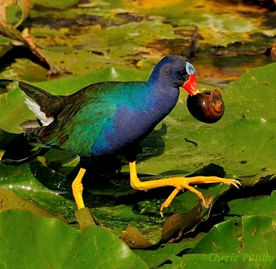 PURPLE GALLINULE Porphyrio martinicus,  Gallineta Morada (Spanish)