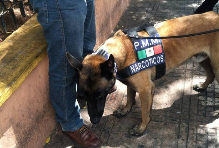 Police dog detected 23 bags with marijuana at the San Benito market (Photo: SIPSE)