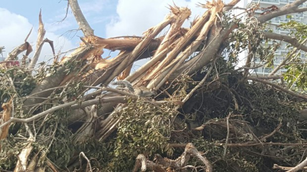Devastated mangrove trees in Tajamar (Photo: Noticaribe)