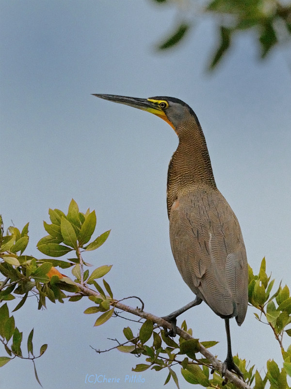 Bare-throated Tiger-Heron adult