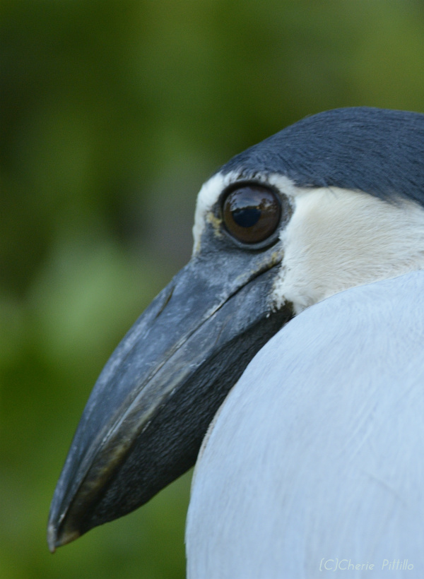Boat-billed Heron eye and thick bill from side view of face