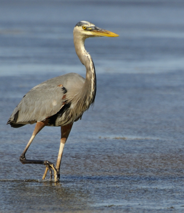 Imagine this Great Blue Heron with white plumage and it would look like the Great White Heron with lighter colored legs.