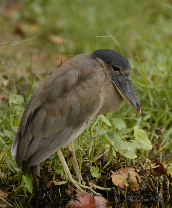Immature Boat-billed Heron in hunched over position
