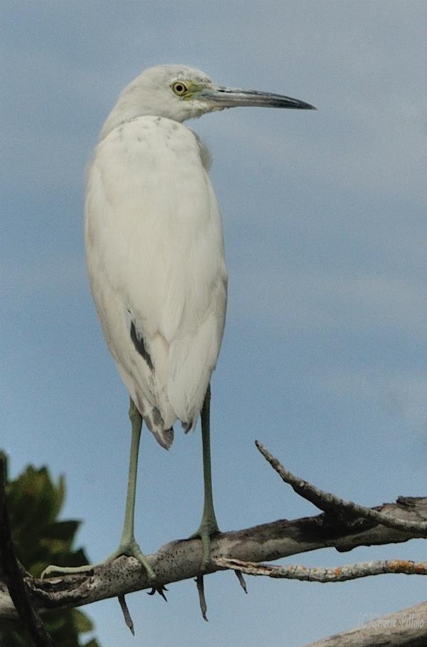 Little Blue Heron, juvenile