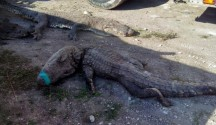 Dead crocodiles discovered on arrival in truck at Chetumal, Q. Roo. (PHOTO: news.yahoo.com)