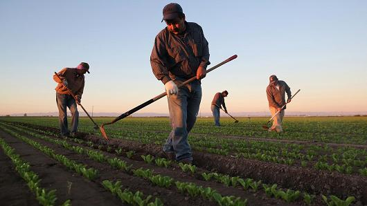 Mexican agricultural workers cultivate romaine lettuce on a farm in Holtville, CA (Photo: cnbc)