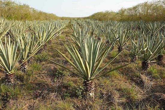 Sisal plantation in Baca, Yucatán (Photo: Google)
