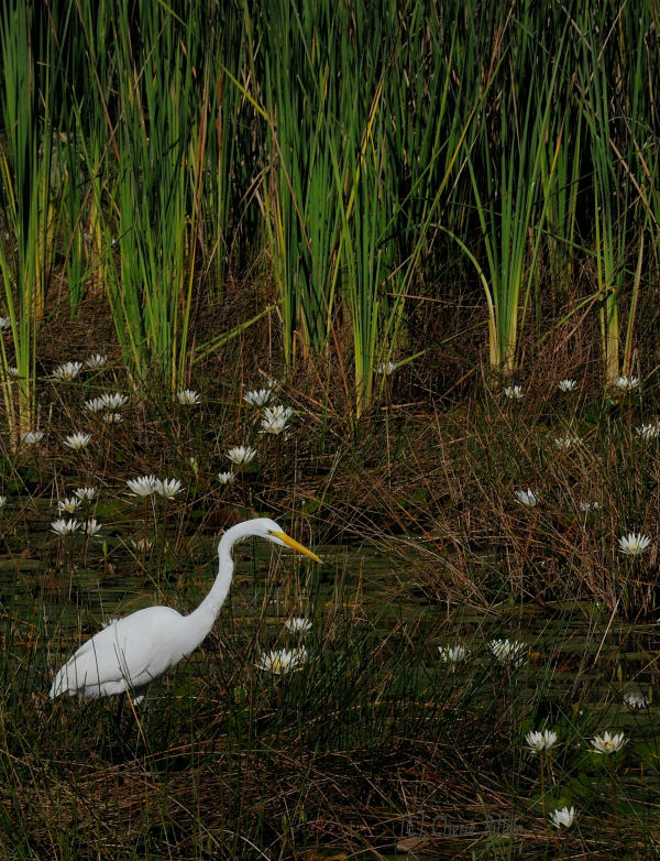 A member of the heron family, the Great Egret,  shares its beauty with those who pause to look