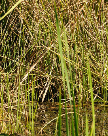American Bittern hidden in grasses