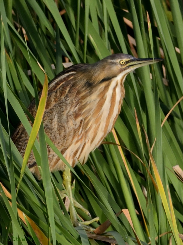 American Bittern with compressed neck