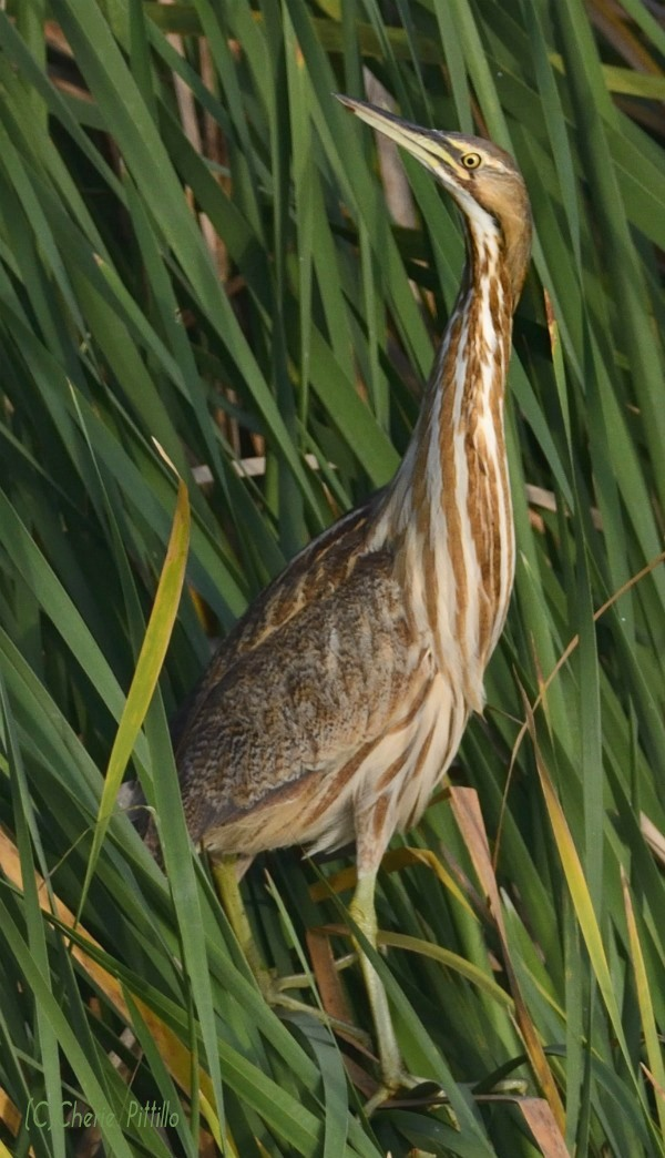 American Bittern with outstretched neck