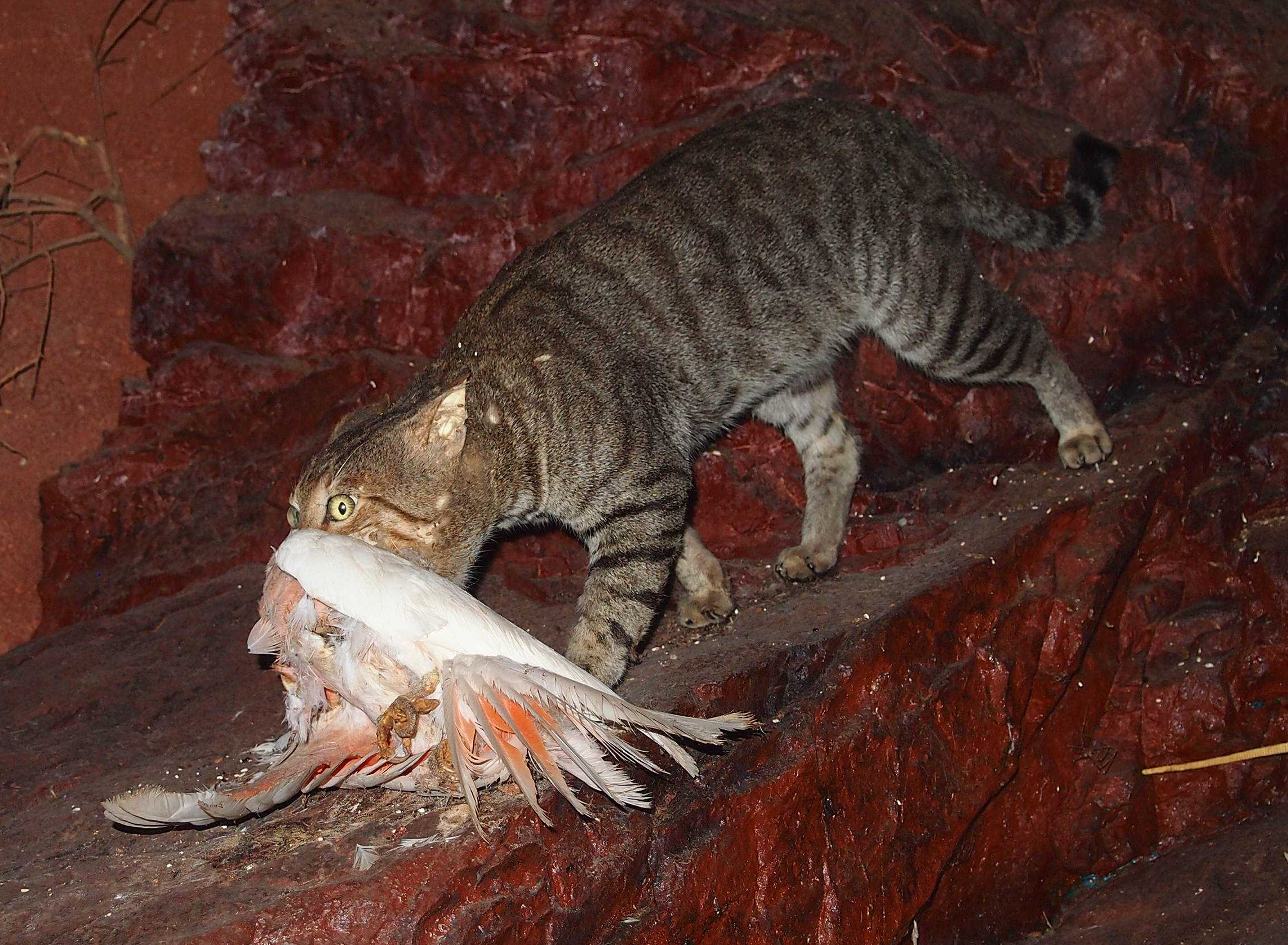 In Australia cats are one of the major invasive species that are causing detrimental effects to indigenous wildlife (Photo: Google)