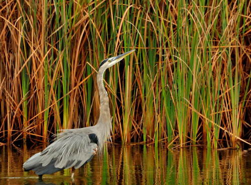 Great Blue Heron and cattails
