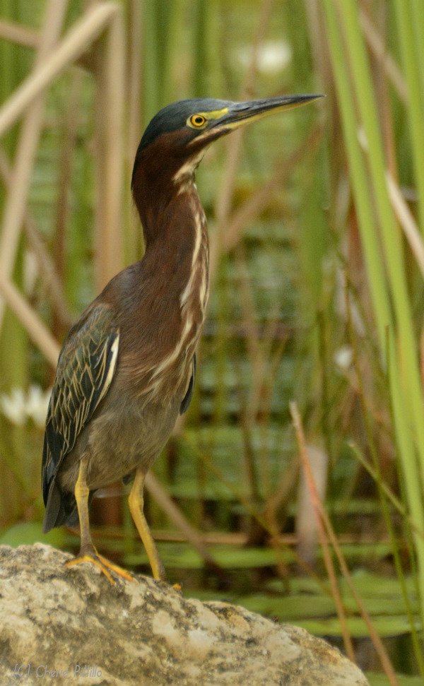 Green Heron with partially extended neck