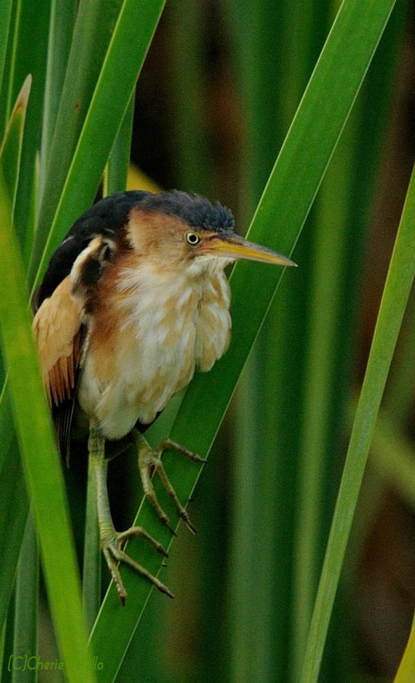 Least Bittern on cattails