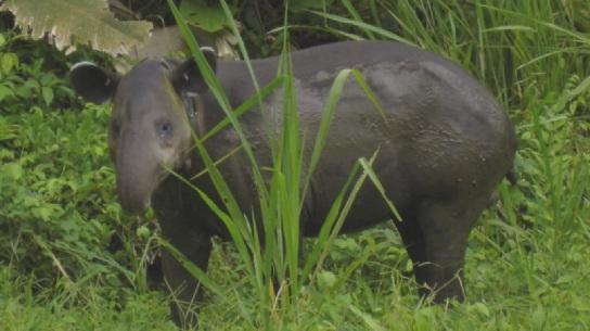Tapir at Animaya Zoo (