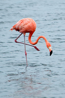 Flamingo standing on one leg (american-bird.com)
