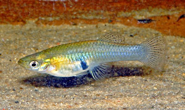 The western mosquitofish (Gambusia affinis) is a species of freshwater fish, also known commonly, if ambiguously, as simply mosquitofish or by its generic name, Gambusia, or its common name, gambezi. (Photo: