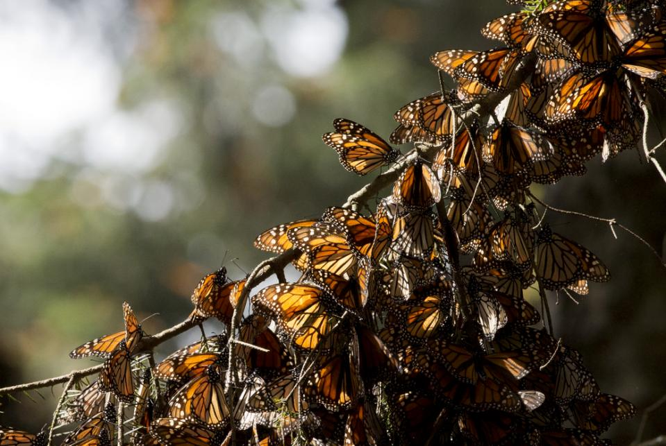 FILE - In this Jan. 4, 2015, file photo, a kaleidoscope of Monarch butterflies hang from a tree branch, in the Piedra Herrada sanctuary, near Valle de Bravo, Mexico. Authorities said Friday, March 11, 2016, the monarch butterflies that winter in the mountains west of Mexico City have survived a cold snap that hit the area. (AP Photo/Rebecca Blackwell, File)