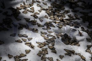 Butterflies that didn't survive the harsh weather. (Photo: LA VOZ DE MICHOACÁN/ENRIQUE CASTRO)