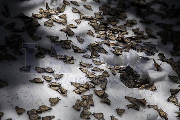 Butterflies that didn't survive the harsh weather. (Photo:LA VOZ DE MICHOACÁN/ENRIQUE CASTRO)